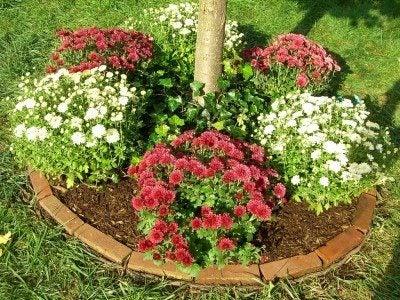 garden-mums