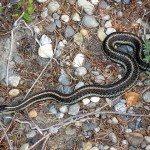 garden-snake