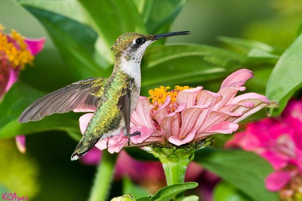 Attracting Hummingbirds To The Garden - Creating A Perennial Garden ...