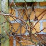 kiwi-vines