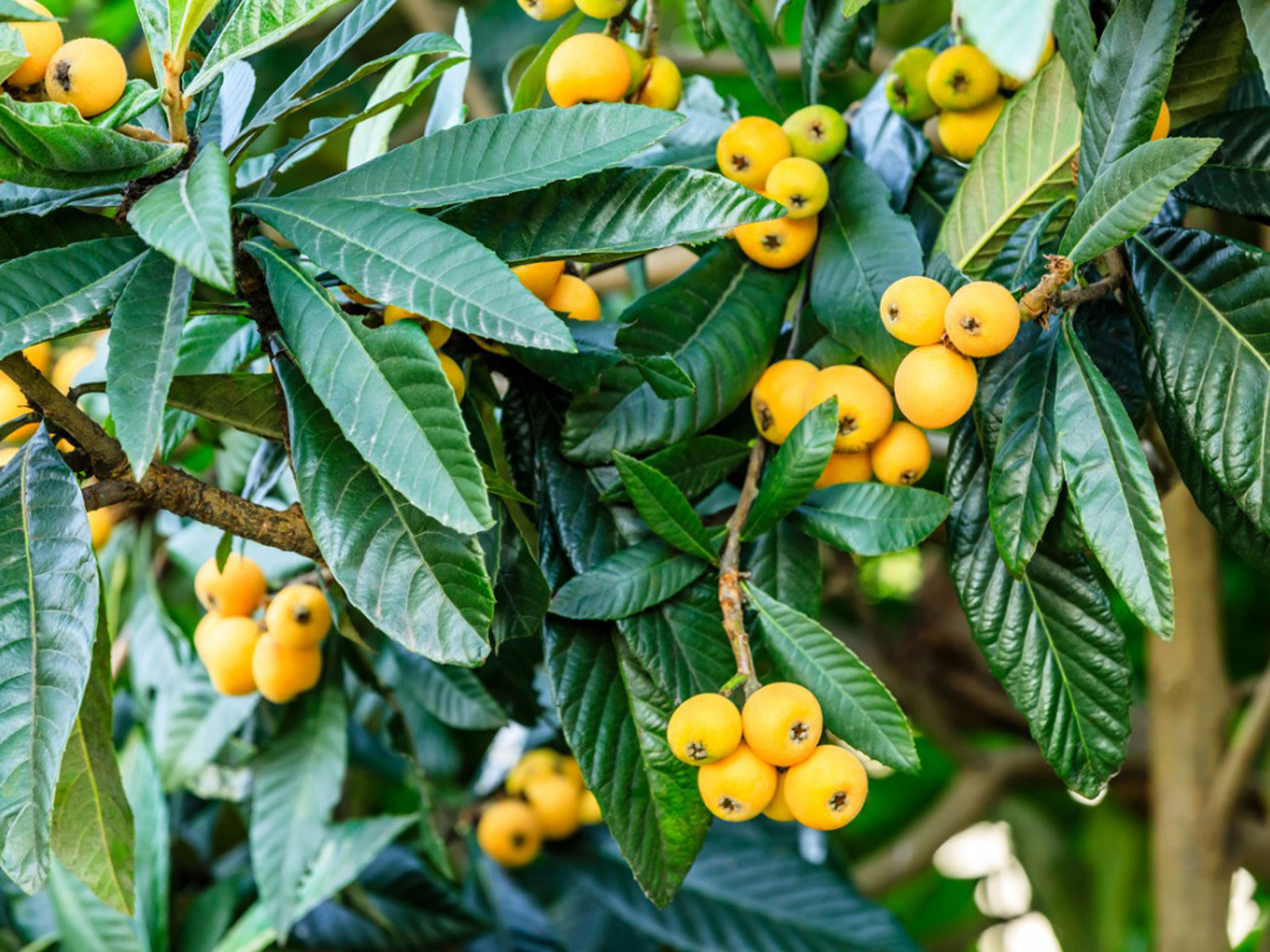 Loquat Tree Information Growing And Caring For A Loquat Tree