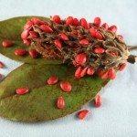 magnolia-seeds