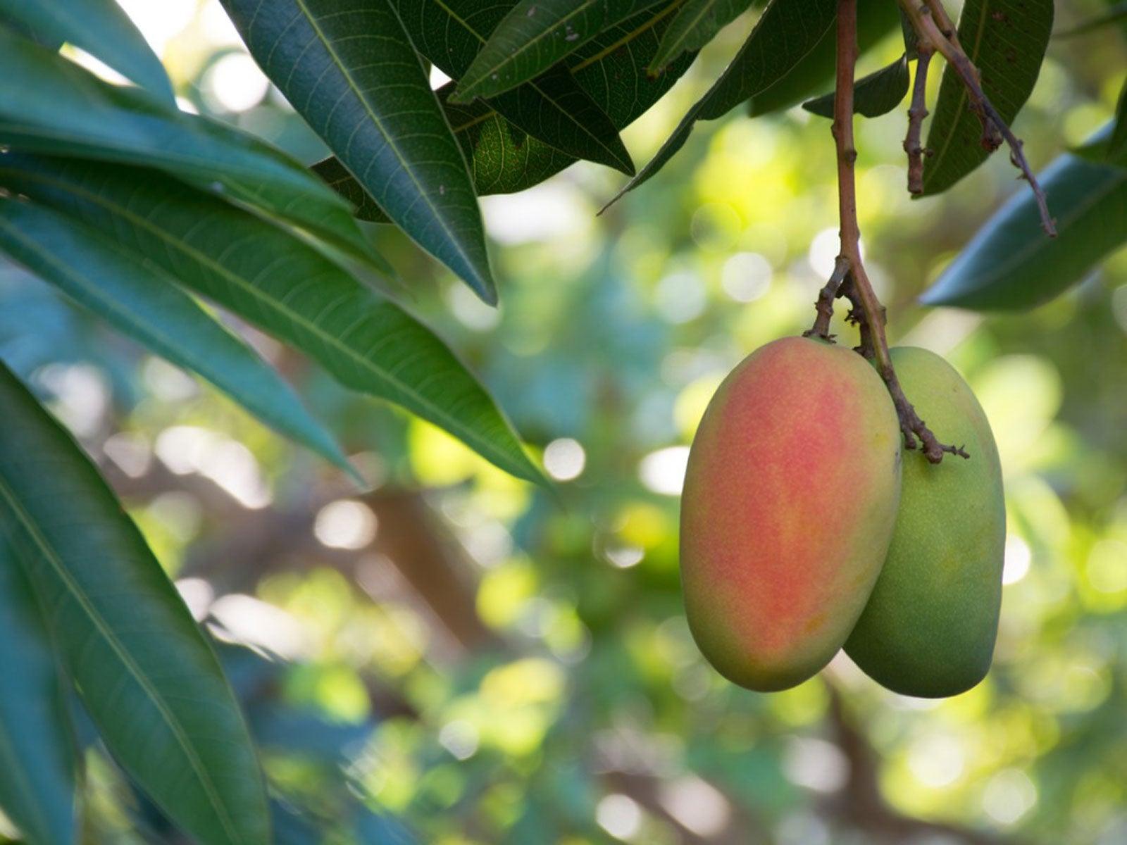 Mango Tree Care How Do You Grow A Mango Tree