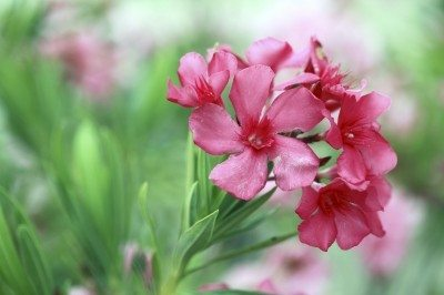 Oleander plant info how to care for oleander shrubs oleander care tips for growing oleanders in the garden mightylinksfo