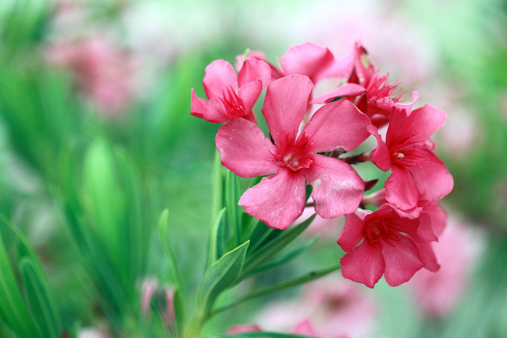 Oleander Plant Info How To Care For Oleander Shrubs