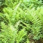 ferns outside