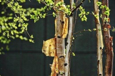 Bark peeling from a black birch.