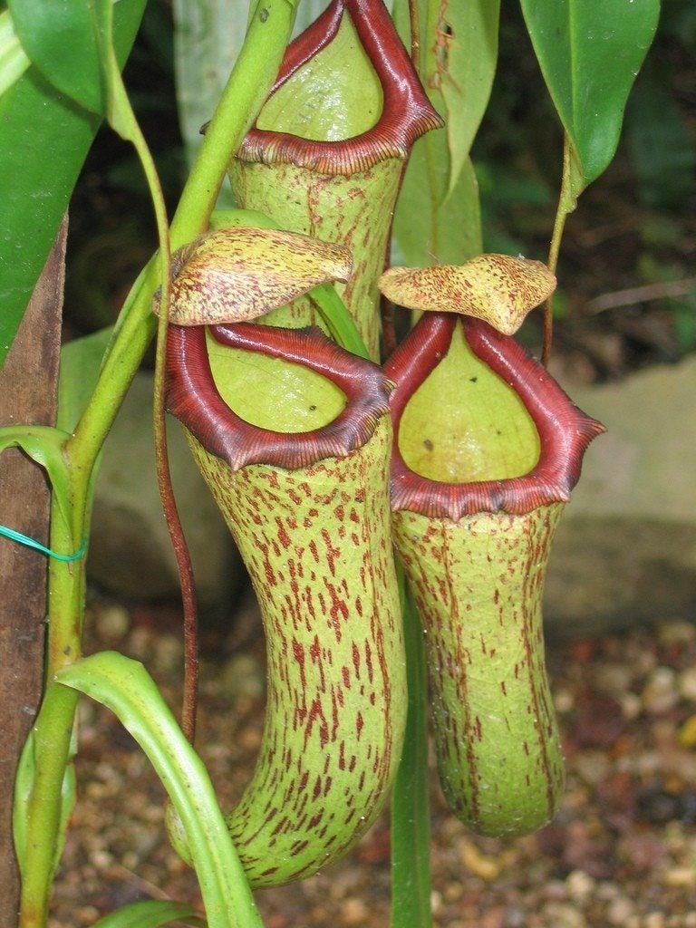 Carnivorous plants pitcher plant - photo#5
