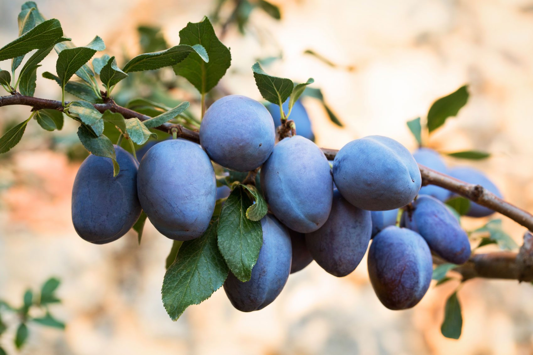 Care Of Plum Tree Tips On How To Grow A