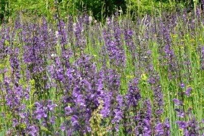 Salvia Plant Types For The Garden