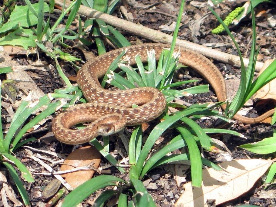 Garden Snake Images Reverse Search