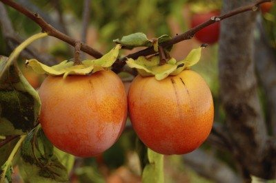 Persimmon Tree Care Learn How To Grow Trees