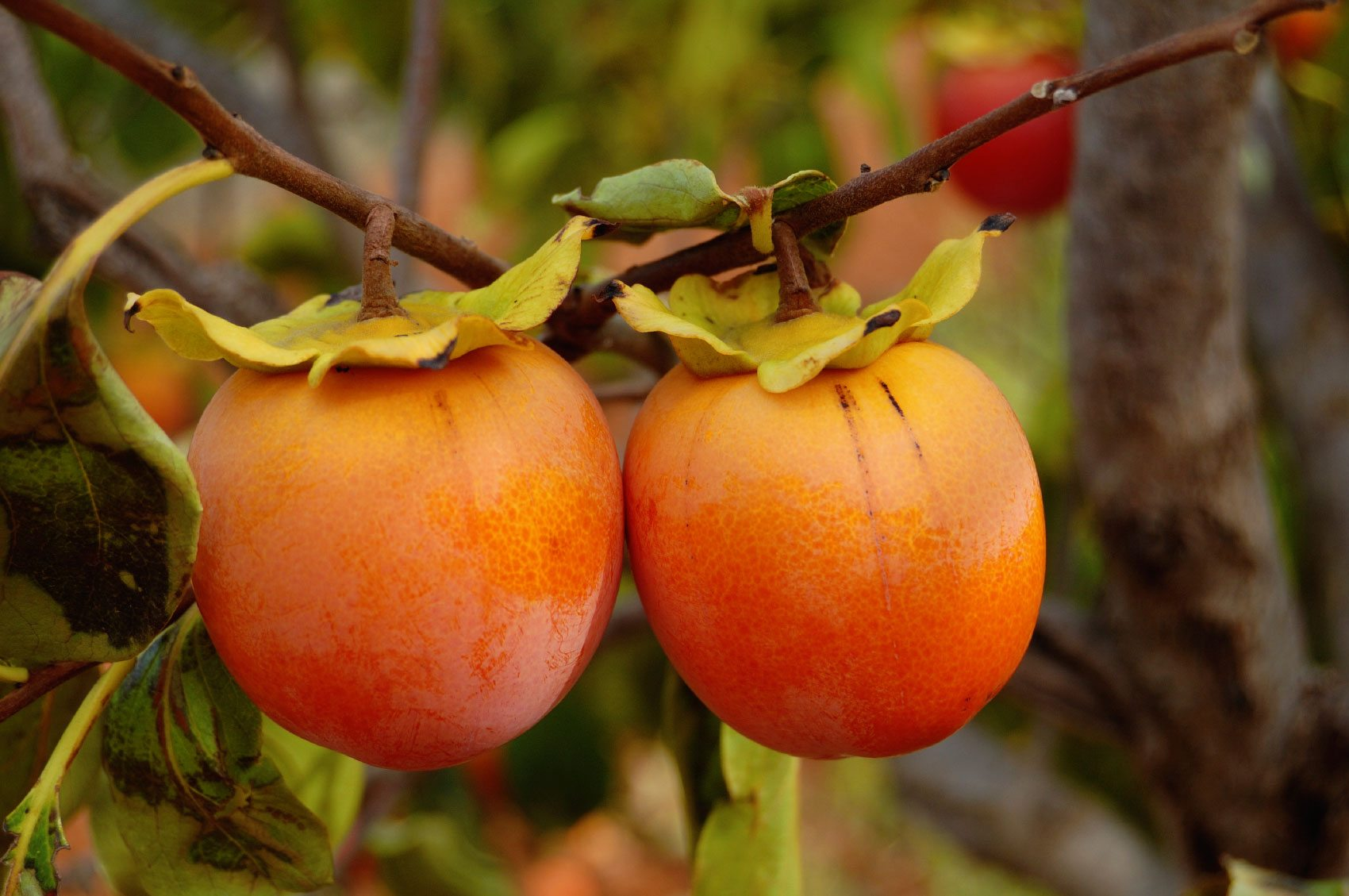 Persimmon tree growing conditions where does persimmon grow for Cachi persimon