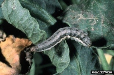 What are armyworms: information on armyworm control