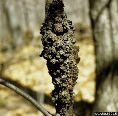 black knot disease