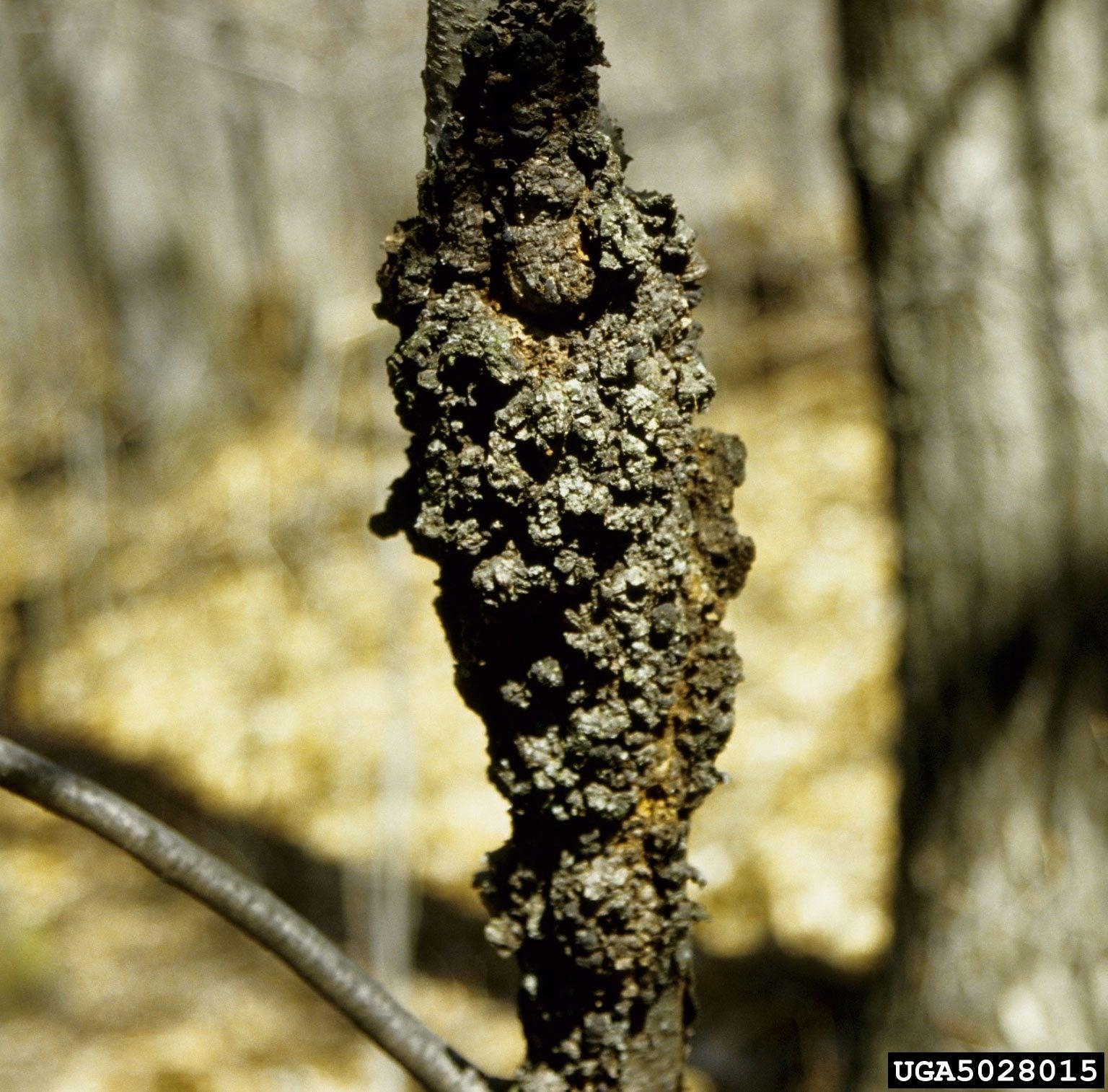 Treating Black Knot Disease In Plums