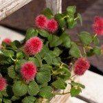 chenille-plant