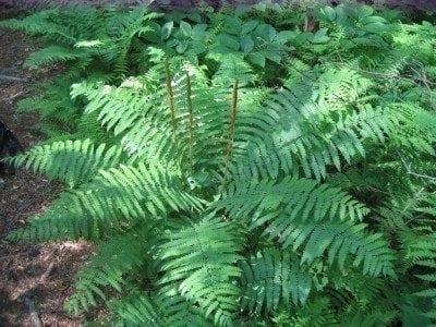 cinnamon-fern