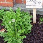 cocoa-hull-mulch