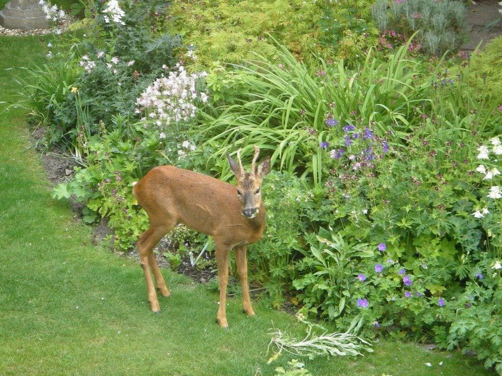 Deer Resistant Gardening Learn How To Create A Deer