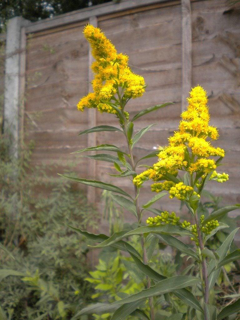 Garden Bush: Planting Goldenrod In The Garden