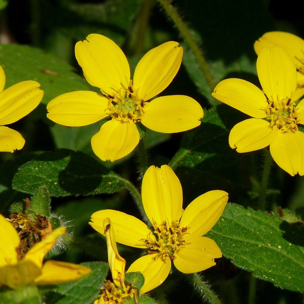 Golden star ground cover growing information and care of golden golden star ground cover growing information and care of golden star plants mightylinksfo