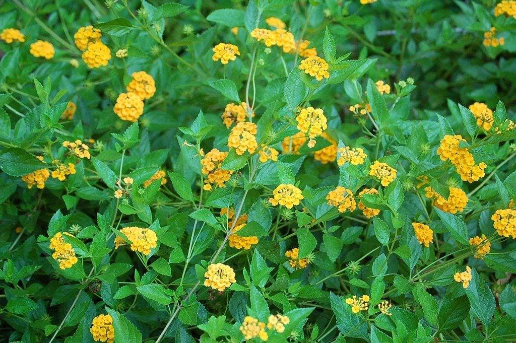 Propagating Lantana Plants Growing Lantana Seeds And