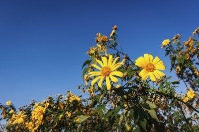 Tithonia diversifolia flowers, yellow flowers