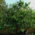 mulberry-tree