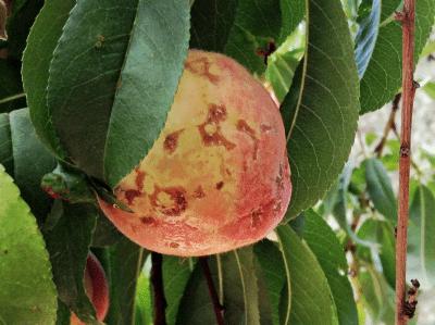 peach-scab
