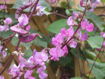 Growing hyacinth bean vine hyacinth bean plant info and care purple hyacinth bean care how to grow a hyacinth bean vine mightylinksfo