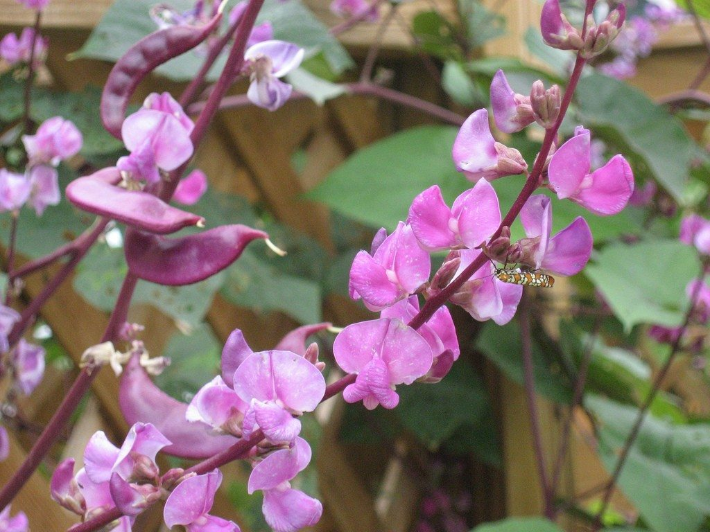 Growing Hyacinth Bean Vine Hyacinth Bean Plant Info And Care
