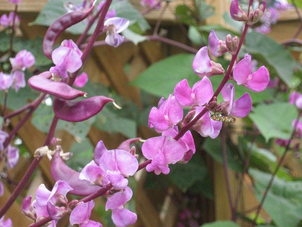 Growing Hyacinth Bean ...