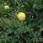 trollius-globe-flower