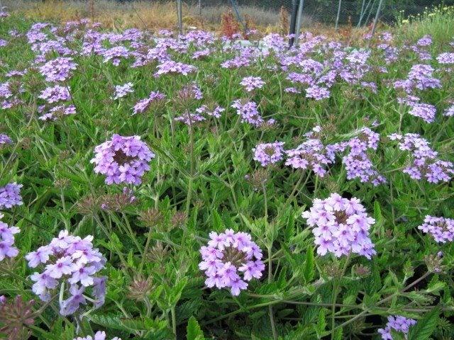 Planting Verbena Flower - Verbena Growing Conditions And Care Verbena Plant