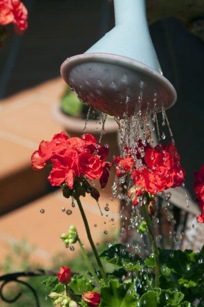 fiore annacquato da annaffiatoio