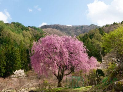 Weeping Cherry Tree Care How To Plant A Weeping Cherry Tree