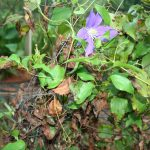 wilted clematis