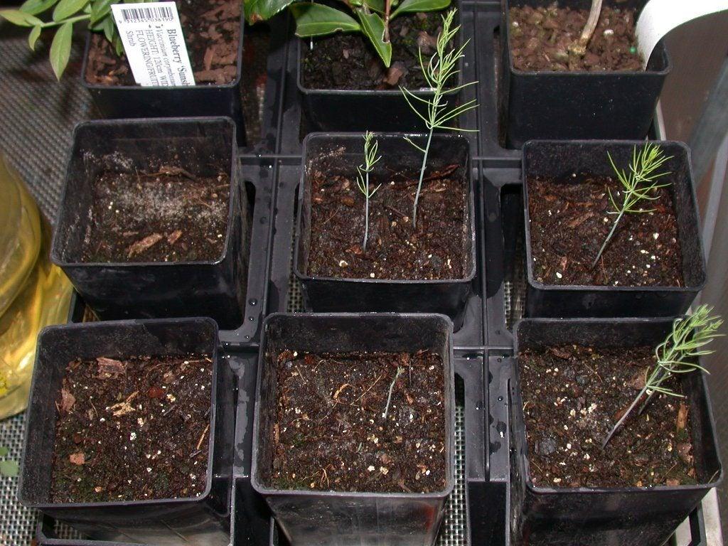 Asparagus Companion Plants