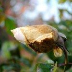 botrytis on rose bud