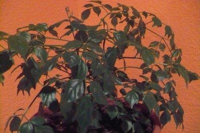 china-doll-plant