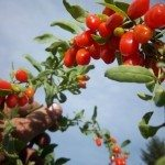 goji-berry-plant