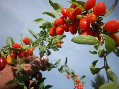 Goji Berry Planting Tips For Growing Goji Berry Plants