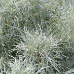 gray-plant