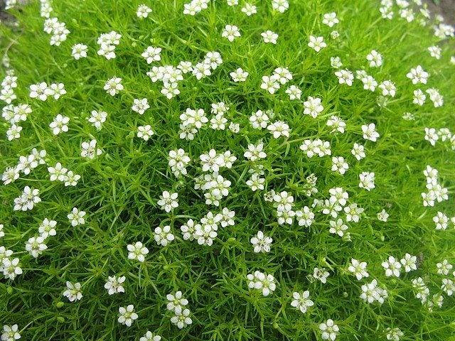 Irish Moss Growing Zones How To Grow