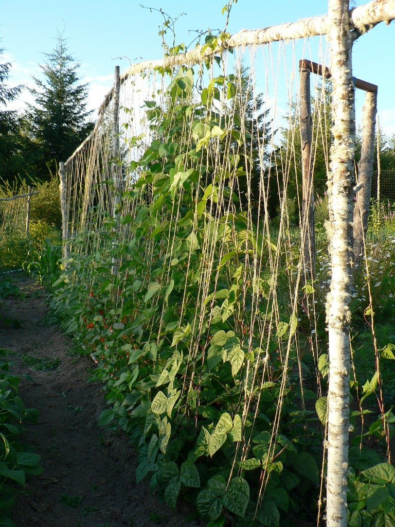 Pea Plant Support Tips For Staking Peas In The Garden