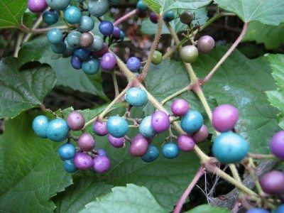 The Porcelain Berry Vine Learn How To Grow A