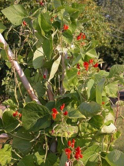 scarlet-runner-beans