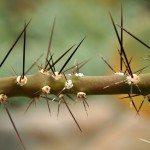 thorny-plant