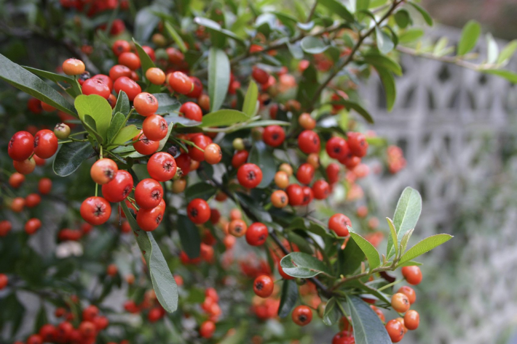 Providing Tree And Plant Care: Growing Firethorn Shrubs In The Landscape
